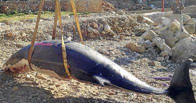 Dode walvis van 6 meter bij Cala Codolar